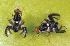Adult apple maggot flies. Female flies (R) are black, with a pointed abdomen with four white cross bands. The males (L) are smaller and have three cross bands on a rounded abdomen.