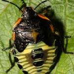 Green Stink Bug: 5th Instar Nymph