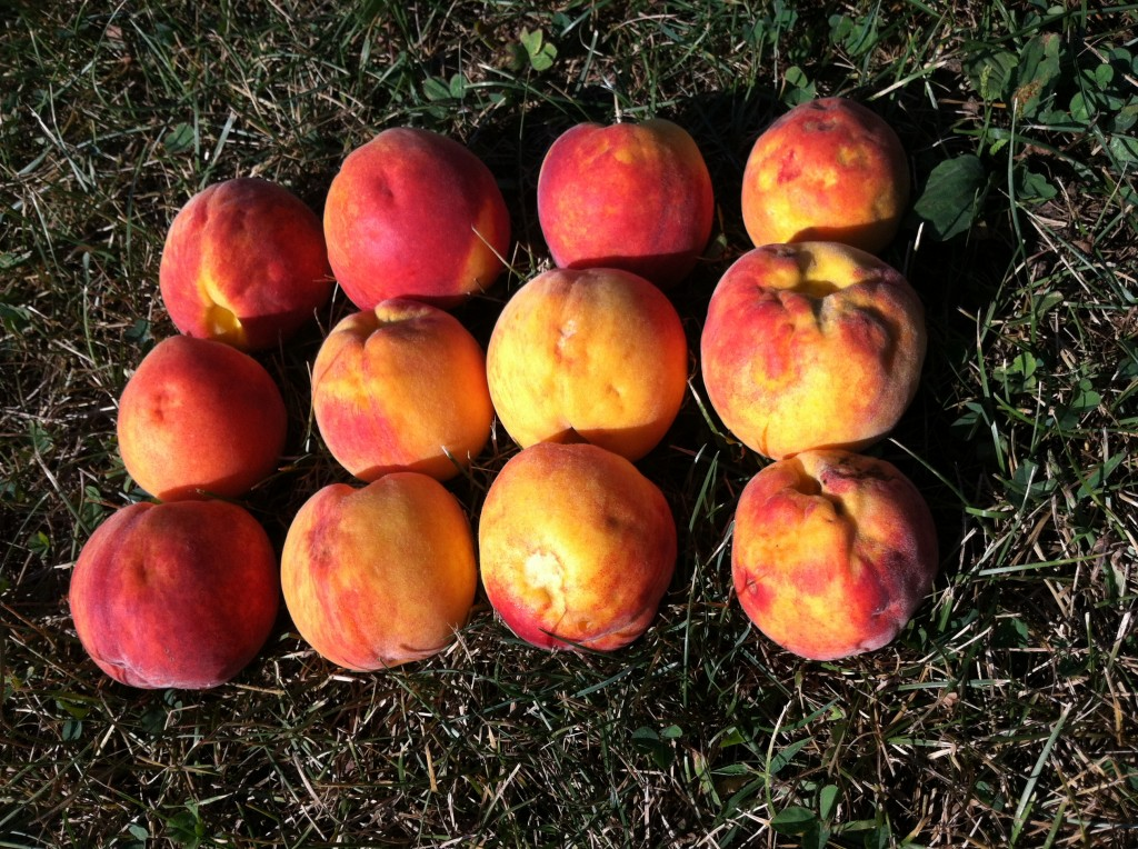 BMSB Damage to Peach; Highland, NY 8.25.14