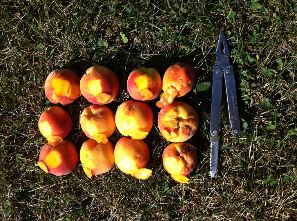 BMSB Internal Damage to Peach; Highland, NY 8.25.14