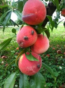 BMSB on Hudson Valley peach: August 2014