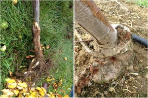 Dogwood borer injury on M-9 rootstock causing tree decline.