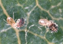 Phytoseid mites (T.pyri) feeding on ERM