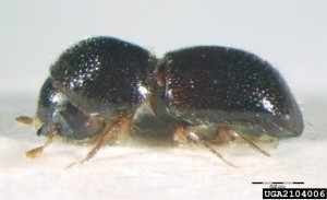 Side view; black stem borer, Xylosandrus germanus