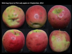 Severe BMSB feeding injury to Pink Lady