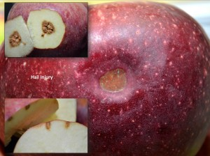 Hail injured Stayman fruit with discolored depression, shallow corking to skin surface; No feeding puncture
