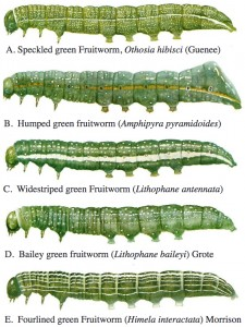 Full-grown larvae of the green fruitworm complex (watercolor paintings by J.A. Keplinger).