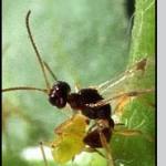 Peristenus digoneutis Loan (Hymenoptera: Braconidae)