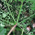 Japanese Beetle Skeletonizing of Foliage