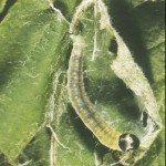 OBLR Summer larvae, webbing and feeding.