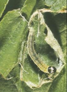 OBLR Summer larvae, webbing and feeding.