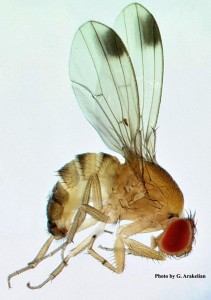 drosophila_suzukii_large