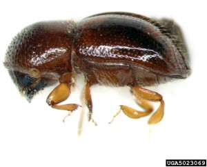 Adult black stem borer