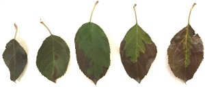 Fuji Leaves Damage by Two Spotted Spider Mite