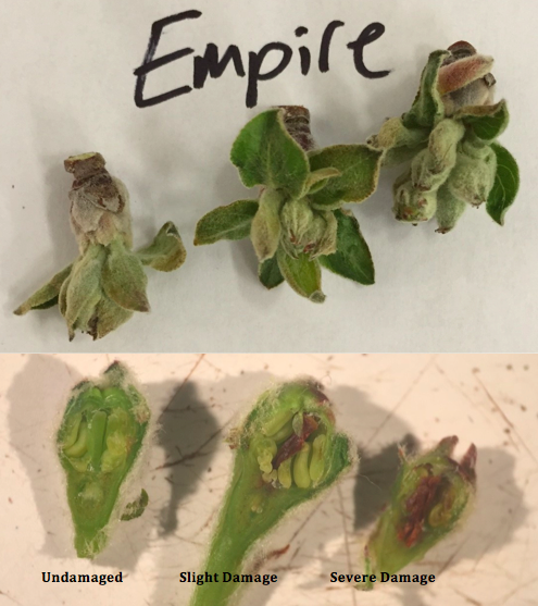 "Image 1. Empire flower buds at ½"" green to tight cluster showing three levels of freeze damage."
