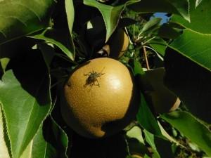 BMSB on Asian Pear