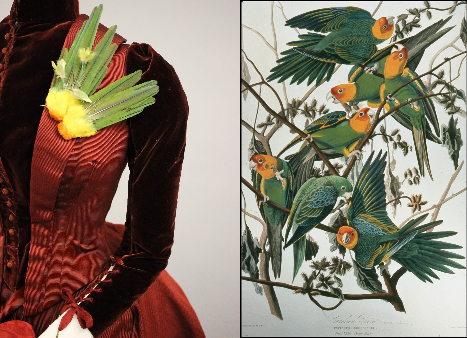 """Left: Brooch made of tails and scalps from the now-extinct Carolina Parakeet, displayed on a late 1880s walking dress. Photo by Grace Anderson. Right: Illustration of Carolina Parakeets by John James Audubon, 1827. Originally published in """"The birds of America: from original drawings,"""" by J. J. Audubon. Image and digitization courtesy of the Division of Rare and Manuscript Collections, Cornell University Library (identifier: h999-005_8srgb)"""