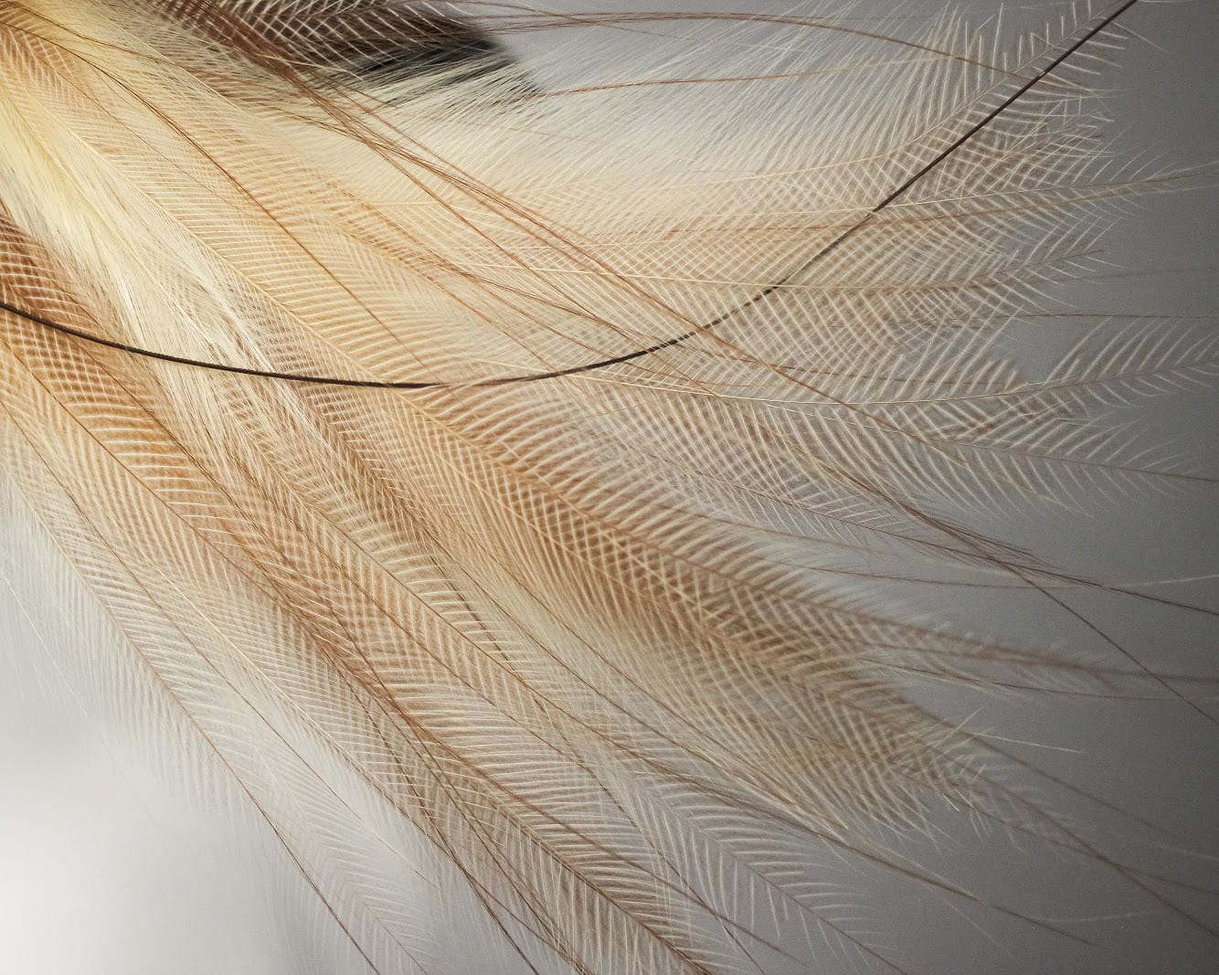 Flank feathers of a Greater Bird-of-Paradise (Paradisaea apoda), adorning a late 19th century hat. Photo by Grace Anderson.