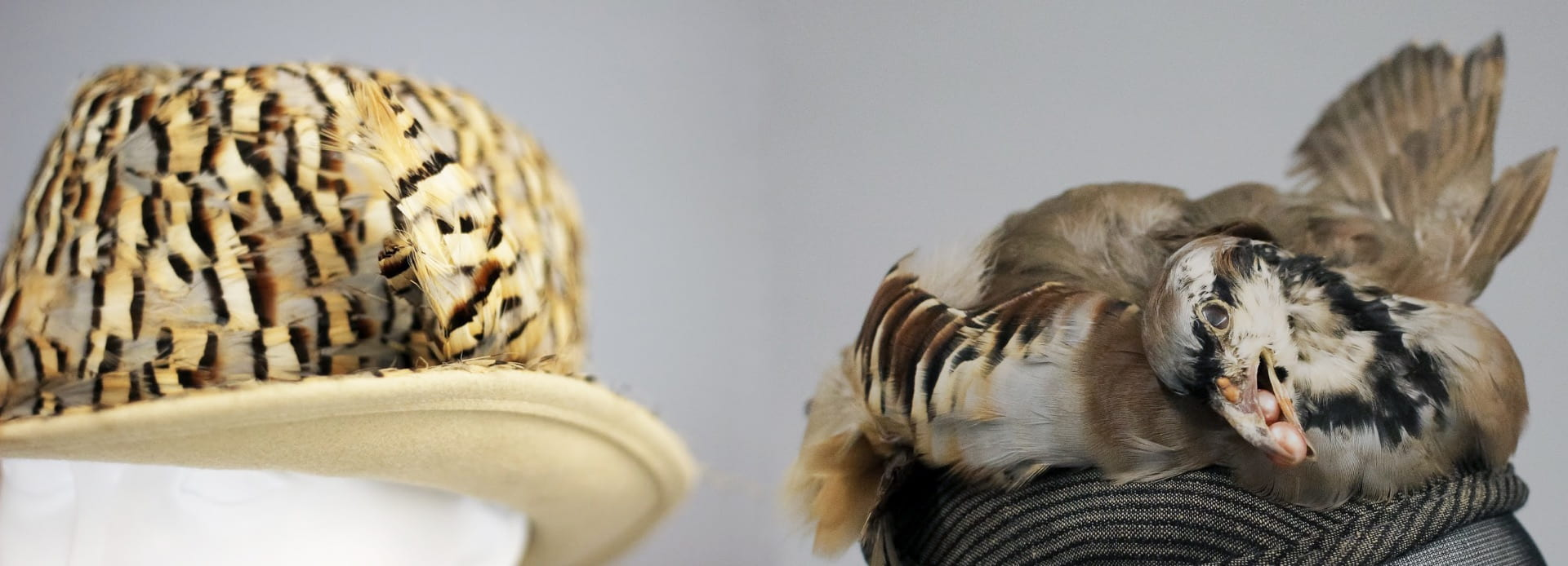 Left, a fedora style hat, circa 1945, designed by milliner Jack McConnell, and featuring distinctive patterned flank feathers of the Chukar partridge. On the right, a Chukar skin salvaged from a Pennsylvania hunter and given new life as a hat, designed by contemporary milliner-taxidermist Rachel Schlass in 2017. Photos by Grace Anderson.