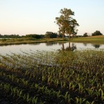 corn-fields-150x150-1