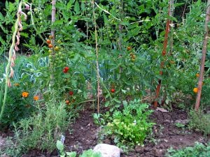 A vegetable garden: leeks, trelised cherry tomatoes, rosemary, parsley, marigolds