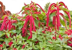 Red cascading amaranth flowers
