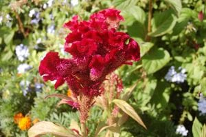 Red cockscomb celosia flower