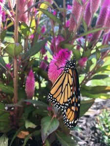 Monarch butterfly perched on magenta wheat celosia flower