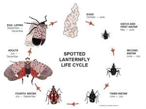 Spotted Lanternfly life cycle - Eggs (October - June), Hatch and 1st Instar - black with white spots (May-June), 2nd instar - black with white spots (June-July), 3rd instar - black with white spots (June-July), 4th instar - red with white and spots (July-September), Adult (July to December), Egg Laying (September-Decemeber)