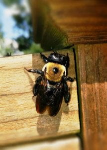 Close-up of a carpenter bee on a wooden fence