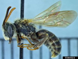 Pinned mining bee specimen