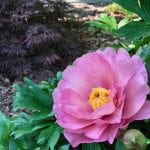 Large pink clower with yellow center known as the Peony 'Morning Lilac'