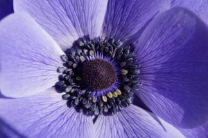 Close up of a purple crown anemone flower.