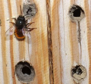 Mason bee on board with