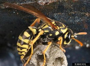 Paper wasp resting on top of its nest