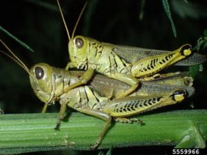 Two mating diffrentail grasshoppers, the male sitting on top of the female