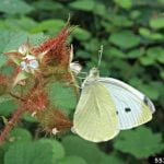 Imported Cabbageworm adult, a white butterfly with three black spots on the forewings perched on a rasberry bloom