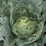 A very holey head of cabbage a result of feeding by the imported cabbageworm