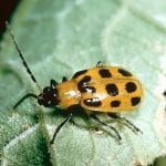 Spotted cucumber beetle, a yellow beetle with black spotts, a back head, legs and filiform antenna
