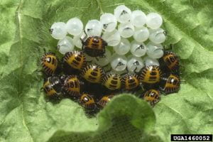 About 20 orange and black colored brown marmorated stink bug nymphs clustered around their egg mass