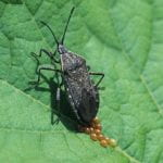 Squash bug adult laying eggs