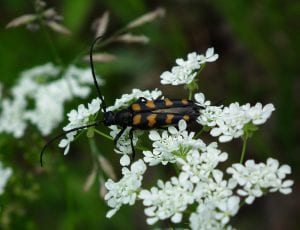 A back beetle with orange stripes and long antenna on the white florets of a Queen Anne's Lace flower