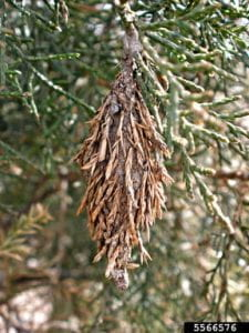 pinecone like structure hanging on an evergreen tree