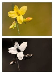 Top picture: A sinlge stem with two flower buds and one small yellow flower with four petals. Bottom: The same photo taken in UV light. The flower is now white with a black center.
