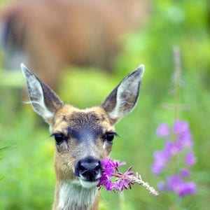 The head of a deer standing with its face brushing up againsta purple flower.