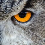 Close up of an owl eye - bright yellow eye surrounded by white, brown and black plummage