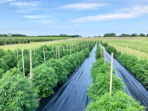 Field of 3 foot tall hemp plants, rows are seperated by black landscaping fabric and each row has a five foot wooden post ever marking of every two plants