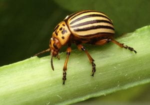 Colorado potato beetle on a potato stem