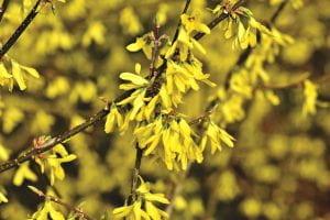 A branch of forsythia in full blloom - yellow flowers