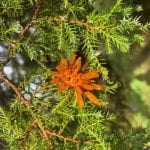 Bright orange sphere with orange tentecales attached to the needles of an evergreen tree